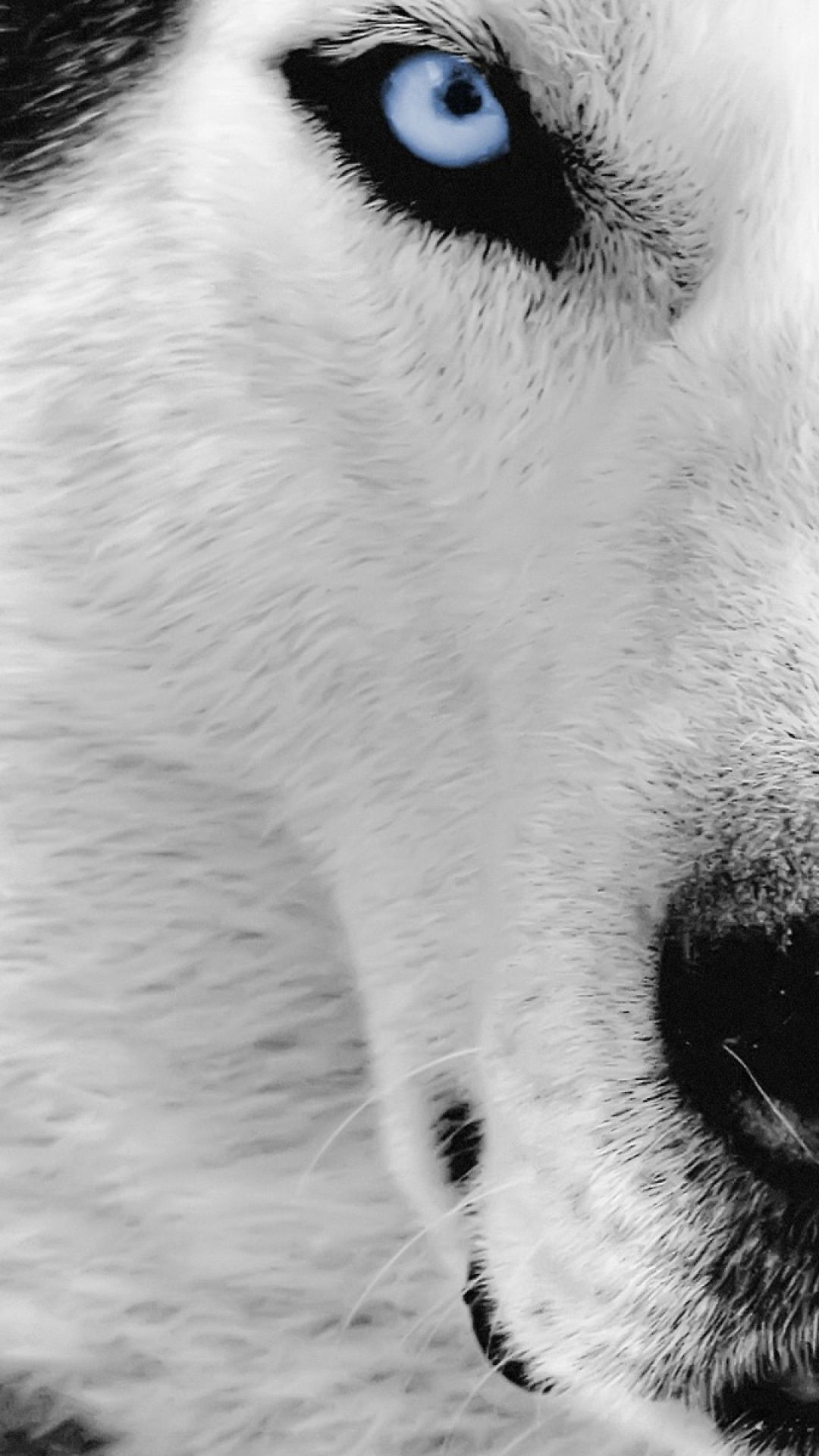 Awesome Screen Backgrounds Animals Wolf Iphone 6 Plus 1080x1920