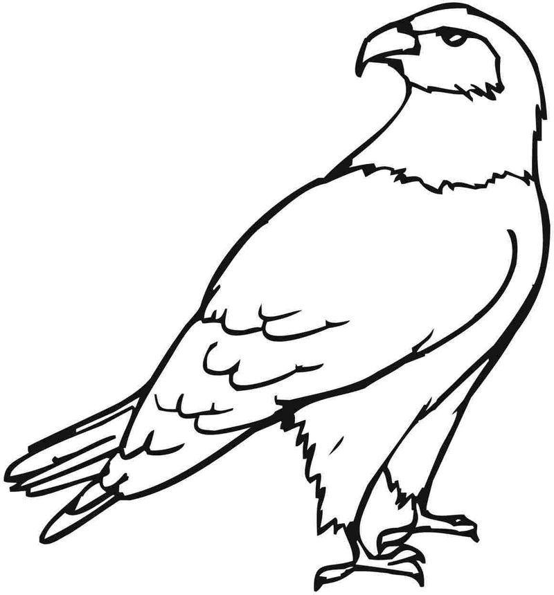 Detailed Eagle Coloring Pages For Adults Gambar Burung Burung Rajawali Gambar