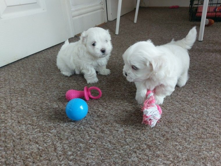 Maltese Puppies For Sale Erie Pa Maltese Puppies For Sale