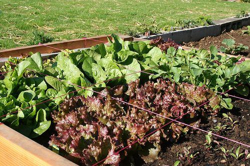 Plant a lettuce garden full of colors, textures, and flavors. Lettuce in the fall? Here's how http://www.vegetablegardener.com/item/11365/plant-a-fall-lettuce-garden