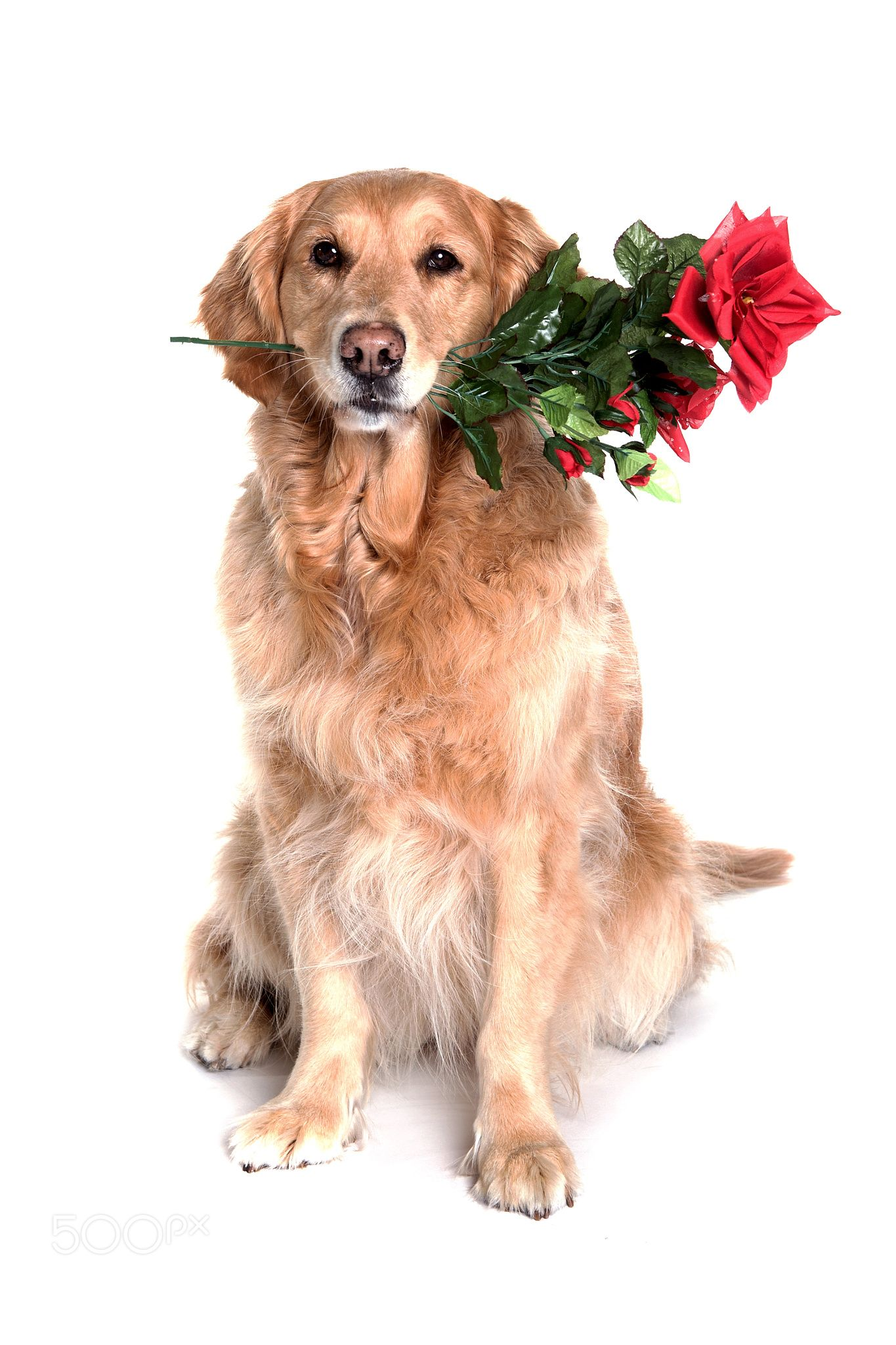 Golden Retriver With Flower In Mouth Golden Retriever With