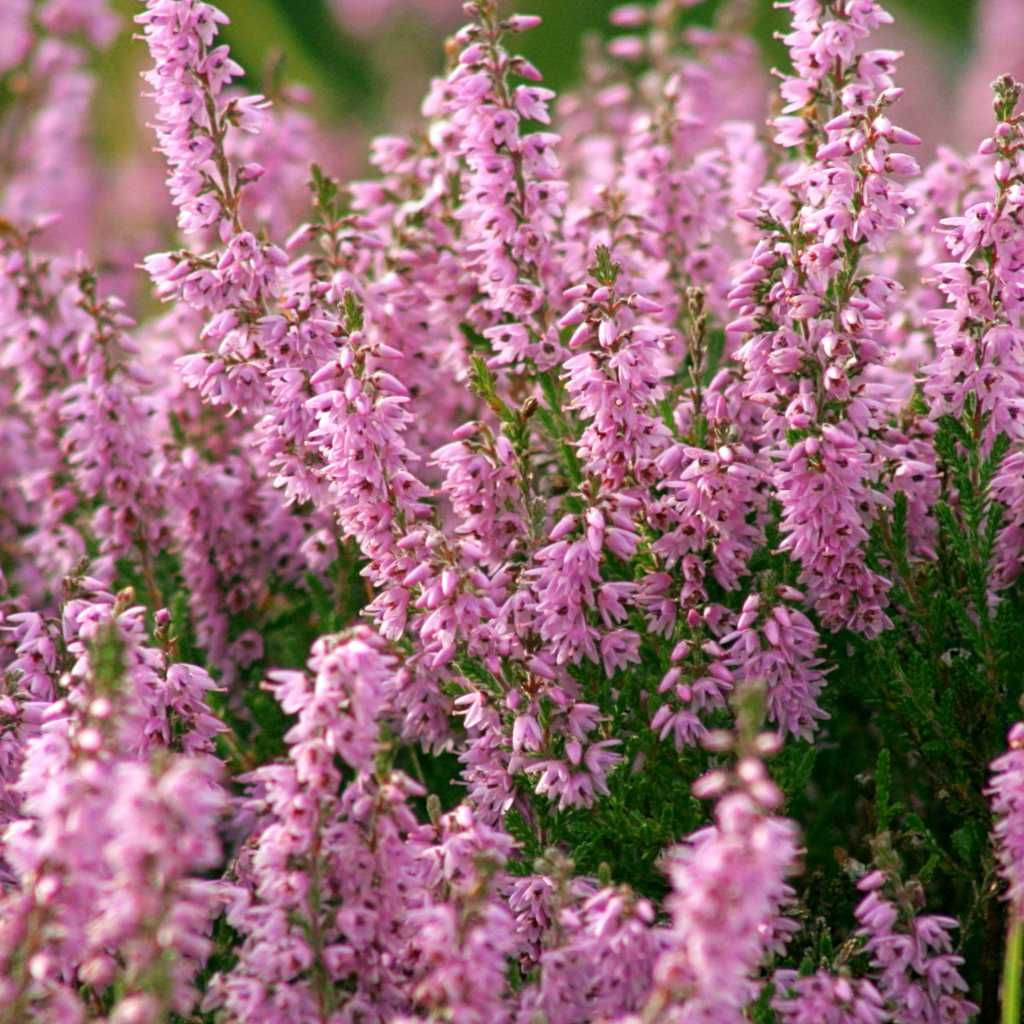 Common Heather Is Beautiful Cute Plant That Blooms Generously Here Are Tips On How To Prune And Care For It From In 2020 Heather Plant Scottish Heather Heather Flower