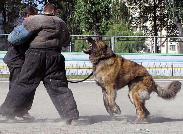 Caucasion Ovcharka Guard Dog Doge