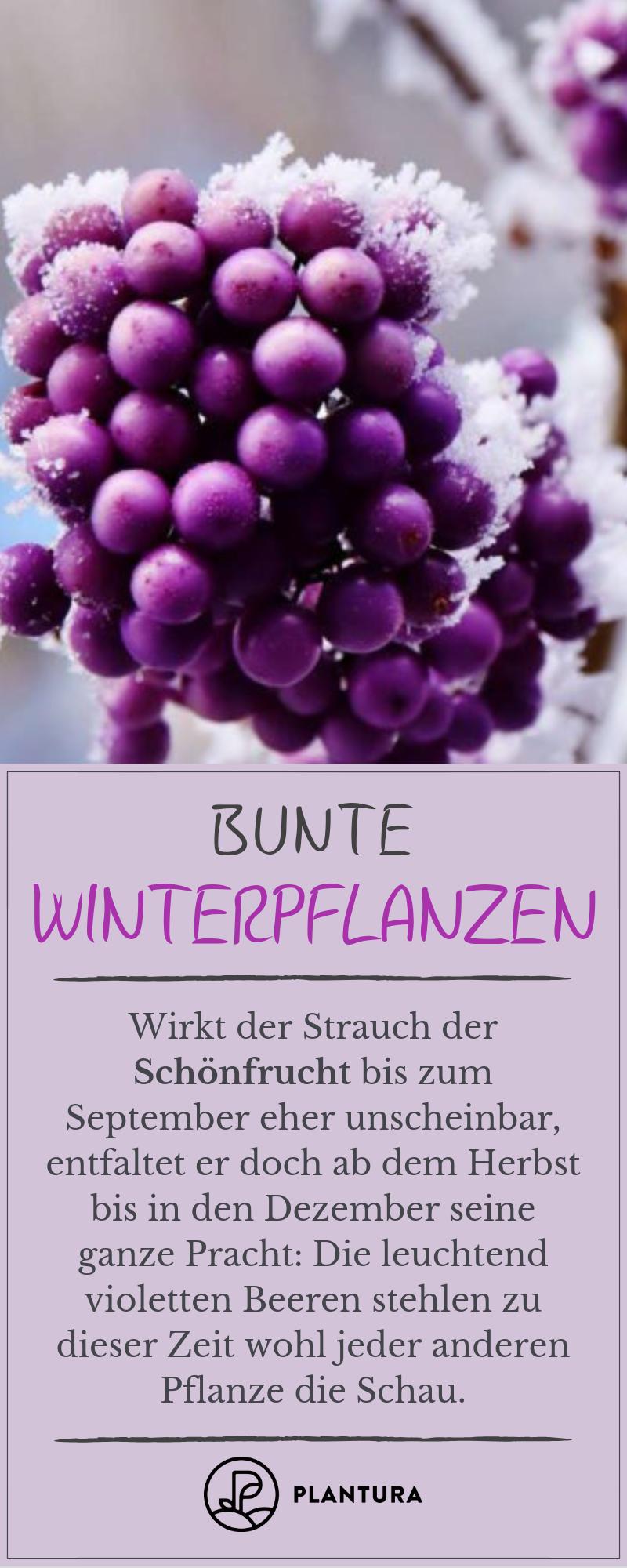 Bunte Winterpflanzen  SchönfruchtEinen einzigartigen Anblick im Winter liefern uns die lila Beeren der Schönfrucht Weitere farbenfrohe Wintergewächse finde...