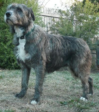 Wolfhound Cross Border Collie Mix Australian Terrier Collie Mix