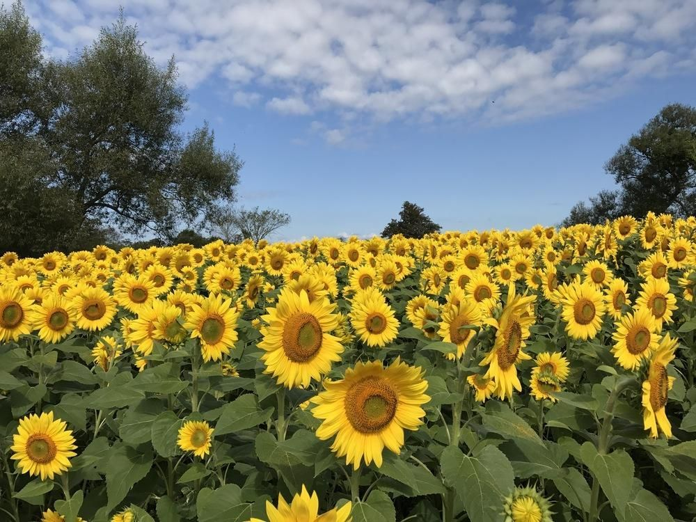 Sunflowers Helianthus Annuus Posted By Lcl Garden Org Bloom Sunflower Plants