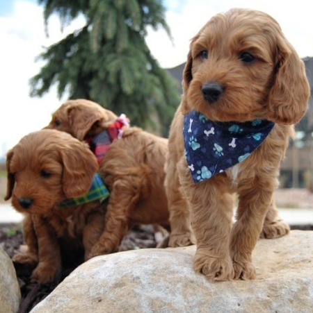 Have You Been Thinking About Adopting A Goldendoodle This Is Your