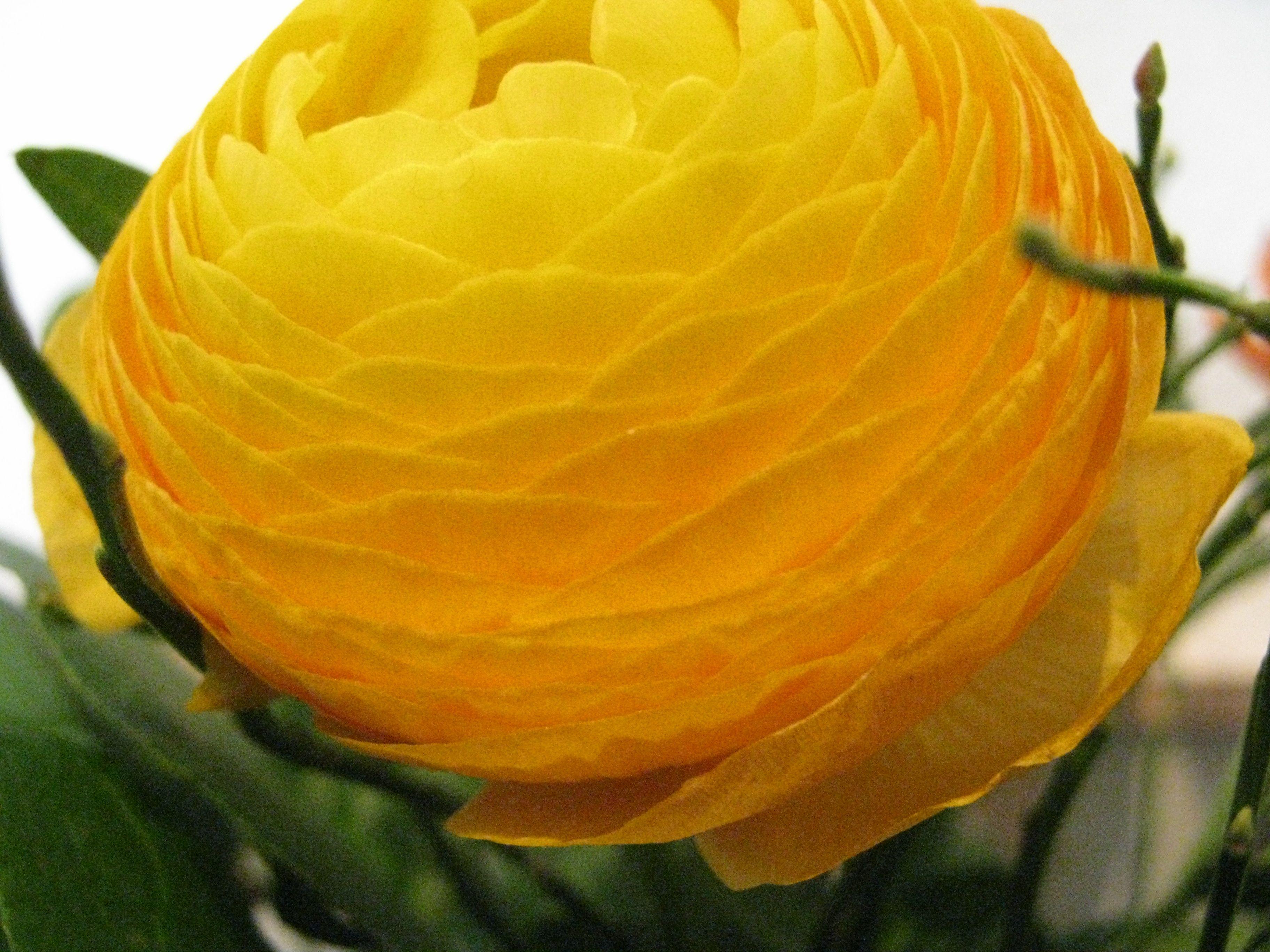 Ranunculus - sunshine in my vase!  ©Danièle Brown   Schmuckstücke   München