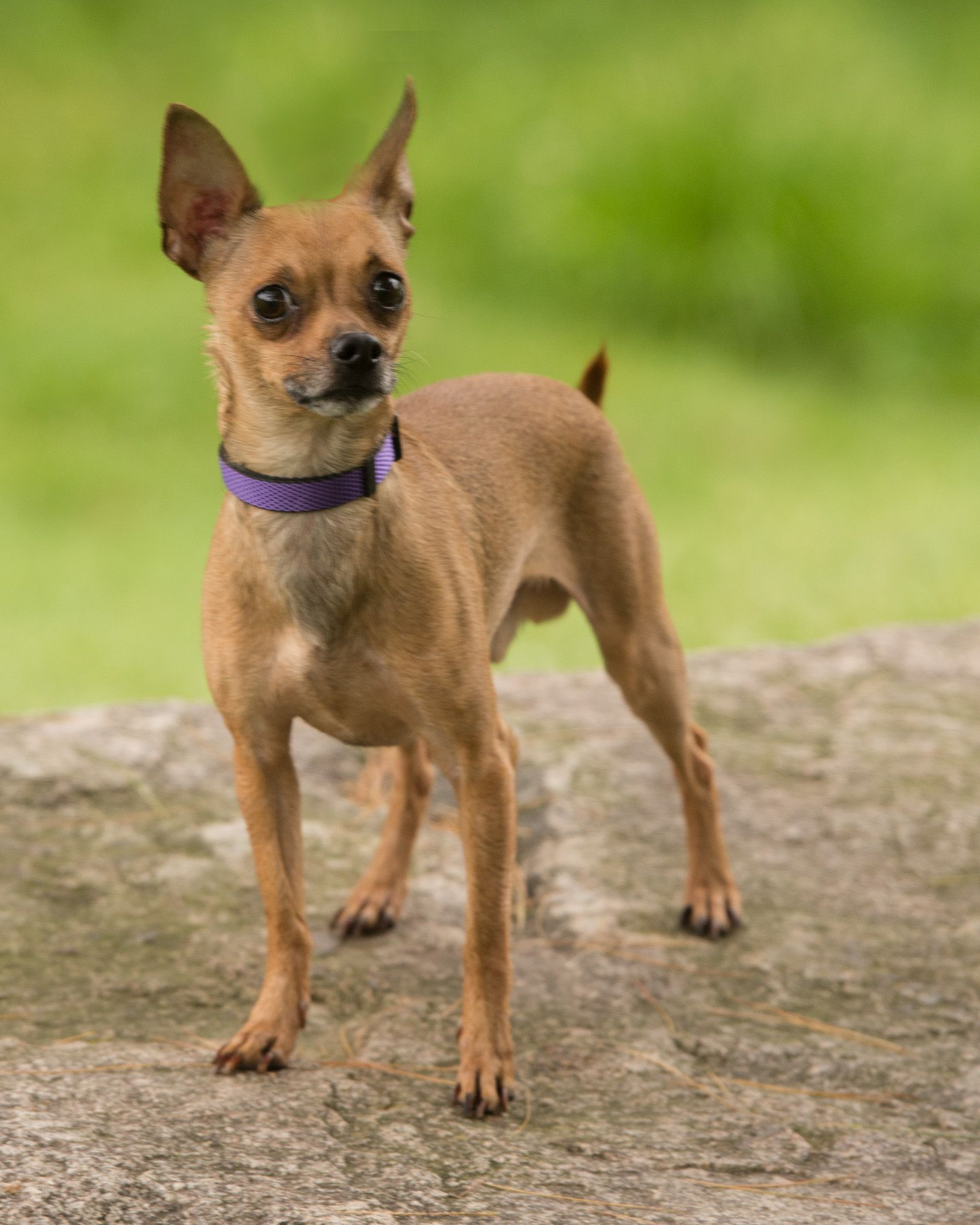 Chihuahua dog for Adoption in Howell, MI. ADN561095 on