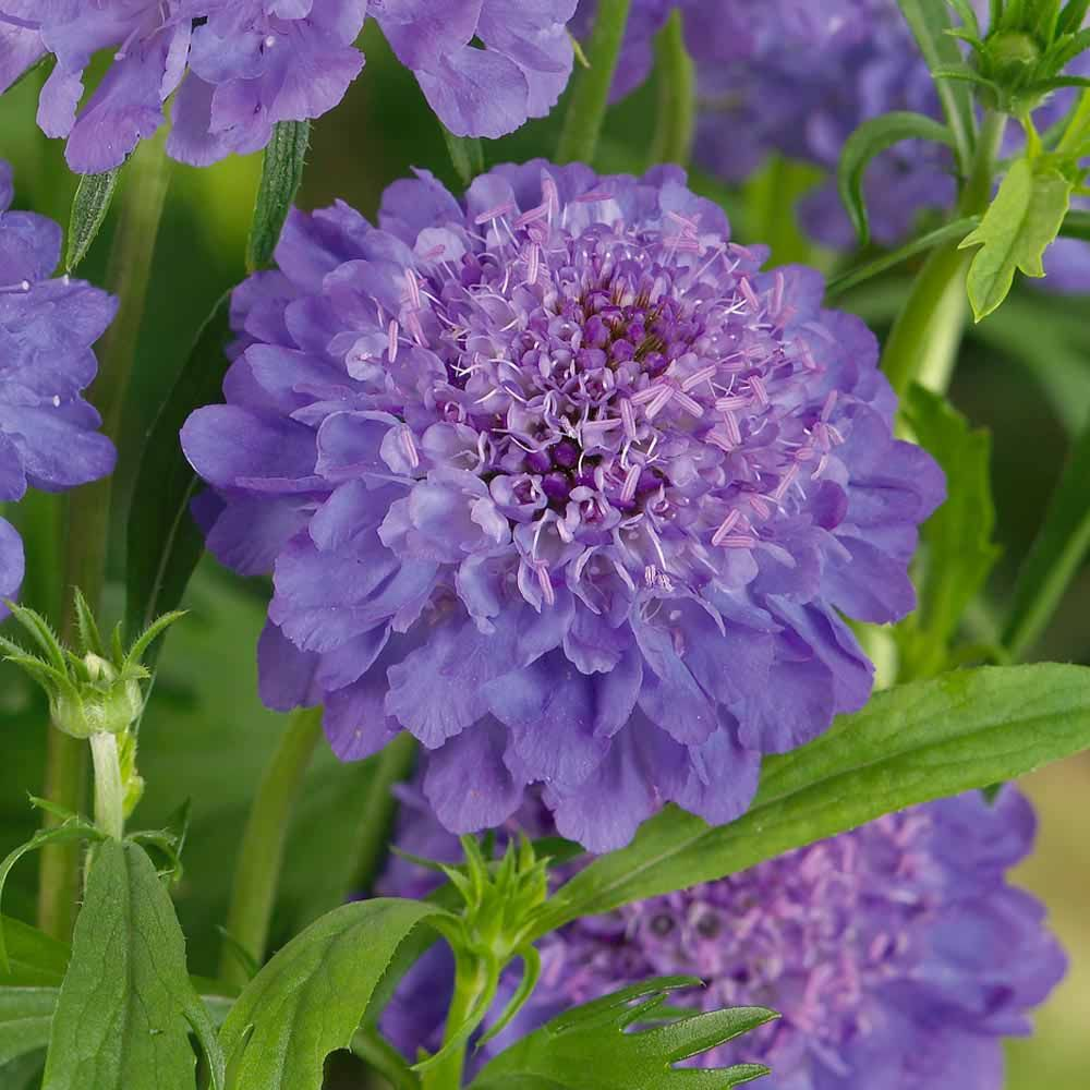 Scabious Blue Jeansscabiosapincushion Flower Blue Perennials