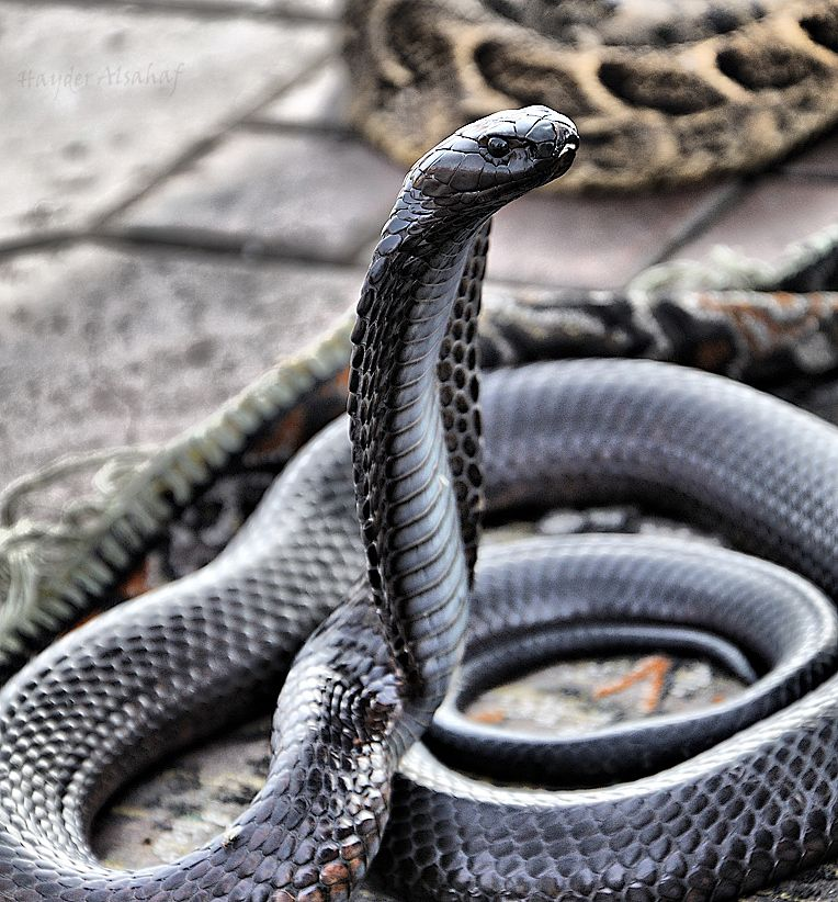 Black King Cobra (Ophiophagus hannah) | Venomous Serpentes ...