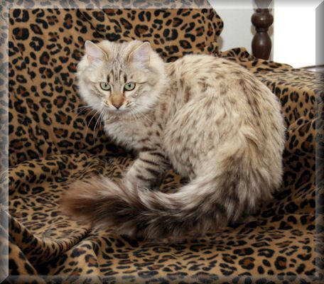 Cashmere Bengal Bengal Cat Asian Leopard Cat Bengal Cat For Sale