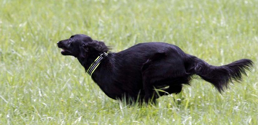 Flatcoated retriever flat coated retriever bird dogs