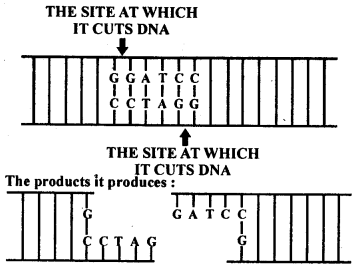 NCERT Solutions Class 12 Biology Chapter 11 - Download PDF