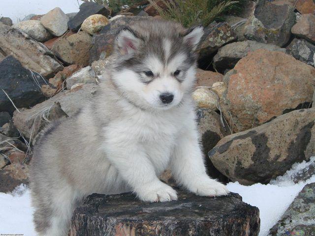 Wonderful Alaskan Malamute Chubby Adorable Dog - b3e9e753a57c10ddc647c0d9a132e1f7  Graphic_4110049  .jpg