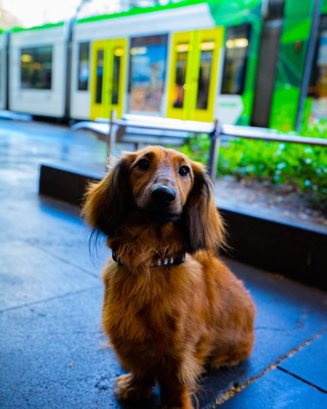 Fluffy Puppy On Melbourne Street Photography Melbourneshuffle