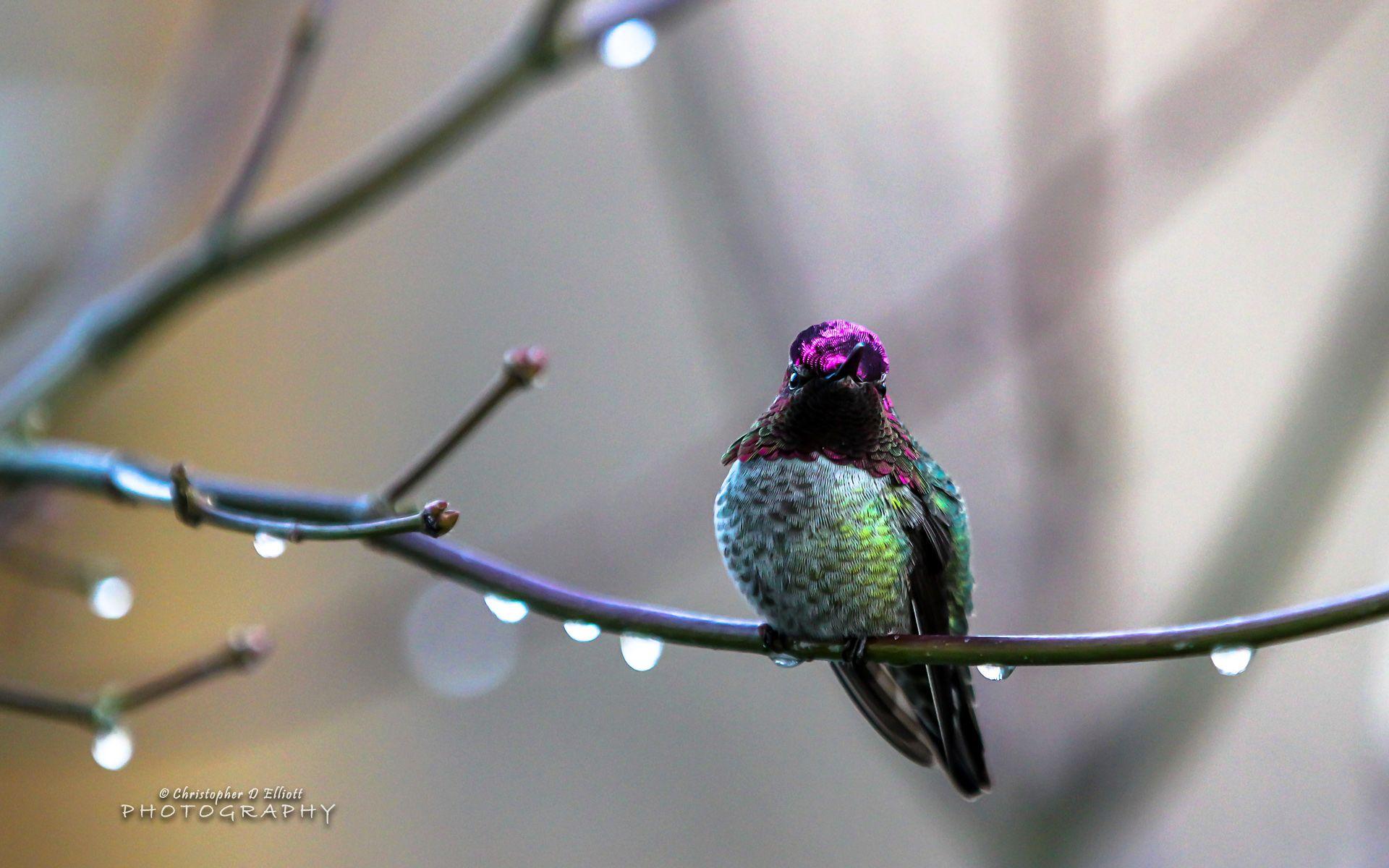 Annas Hummingbird High Definition Wallpaper Hummingbird Wallpaper Annas Hummingbird Birds