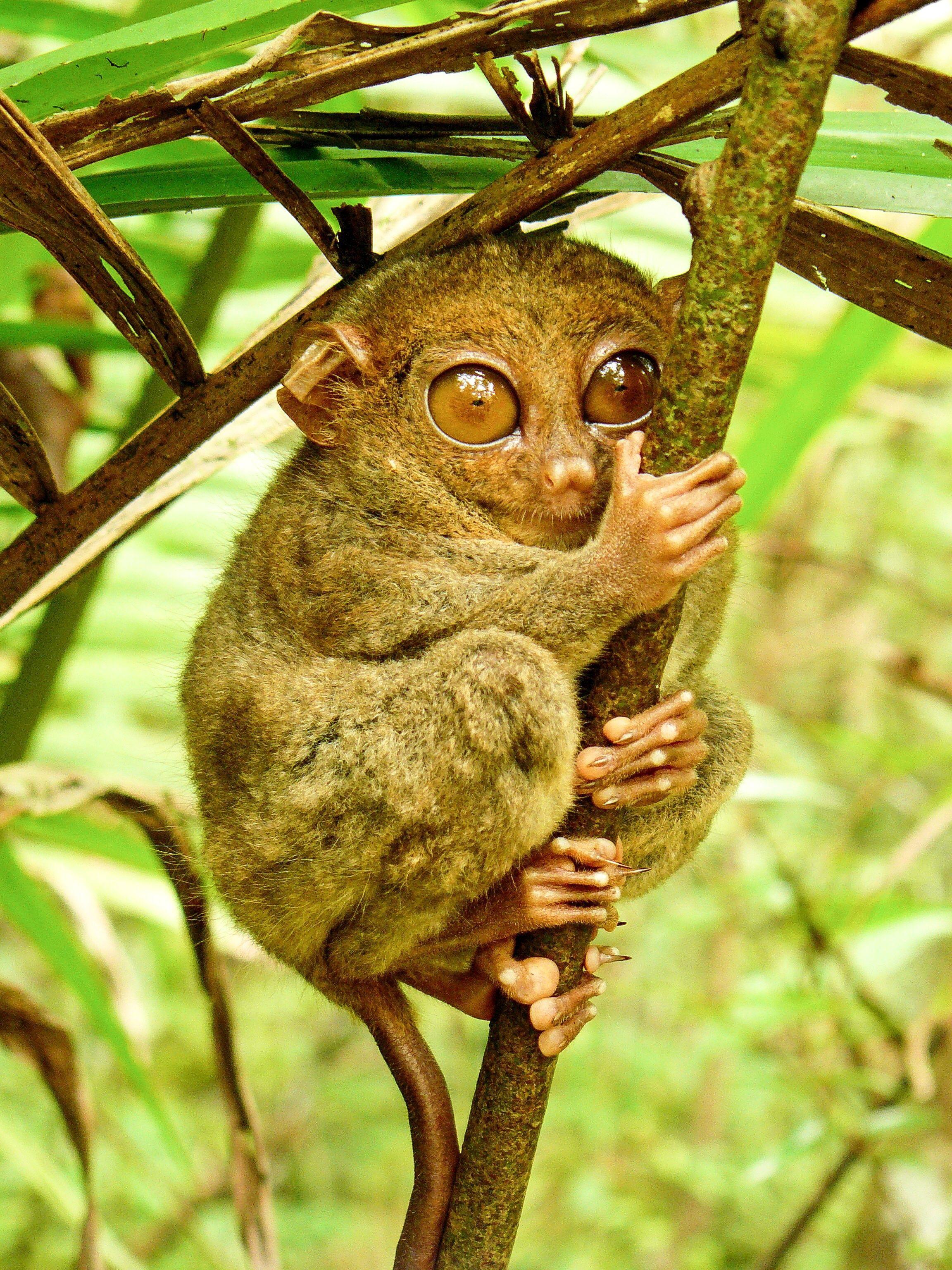 Tarsiers Strange and Threatened Primates of Southeast