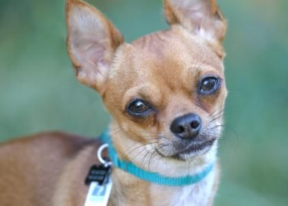 Petango Com Meet Kerbie A 2 Years Chihuahua Short Coat