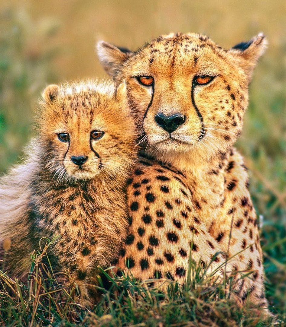 Beautiful and sadly another endangered big cat Animals