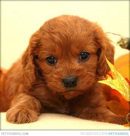 Cavapoo Dog Pictures Amp Videos Funny Cute Wacky Or Training Cavapoo Puppies Cavapoo Dog Pictures