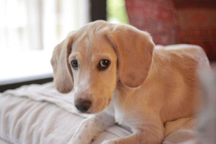 Emma Cocker Spaniel Labrador Mischling Mix Labrador Mischling Mischlingshunde Mischling
