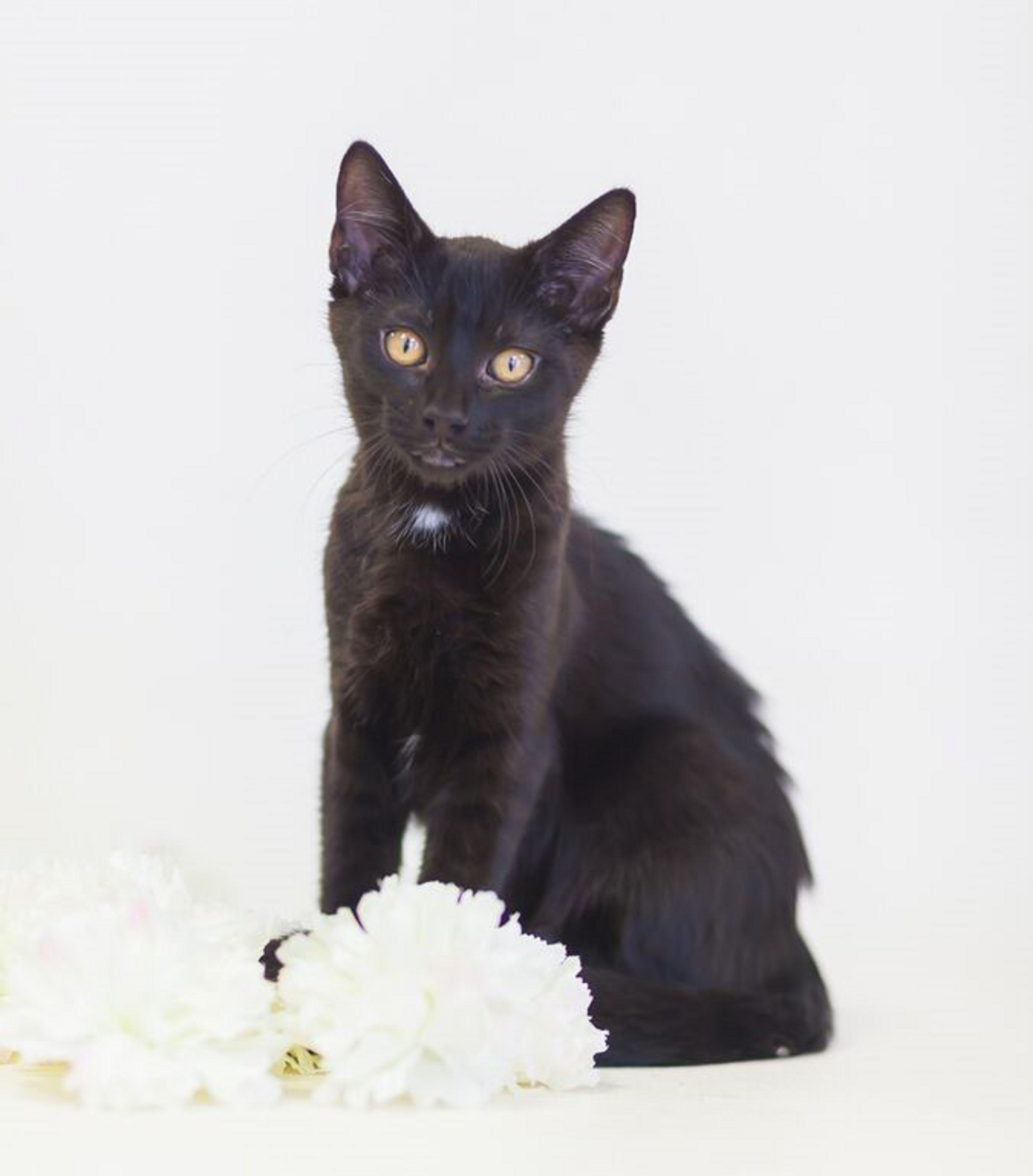 Dunn Is A Male Domestic Short Hair Black Kitten He Is Approximately 4 Months Old He Is Very Playful Gets Along Well With Other Cats Pets Black Kitten Kitten