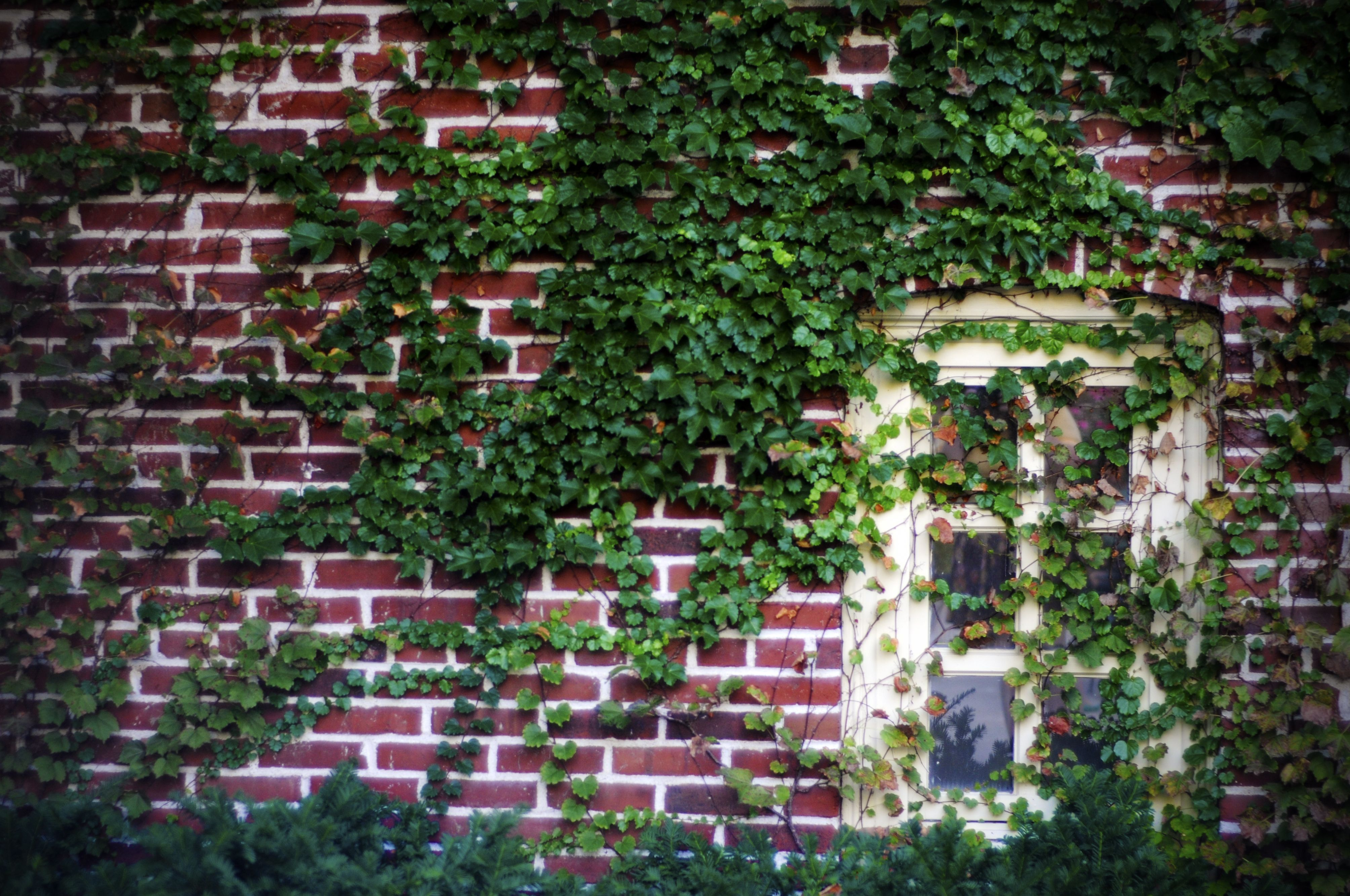 vine covered brick wall and window at mizzou madeline. Black Bedroom Furniture Sets. Home Design Ideas