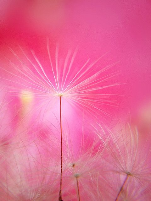 "**Pink Dandelion by tanakawho / soothing images / pink is my ""comfort"" color"