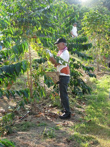 Kona Coffee Picking Kona Coffee Coffee Farm Cherry Farm