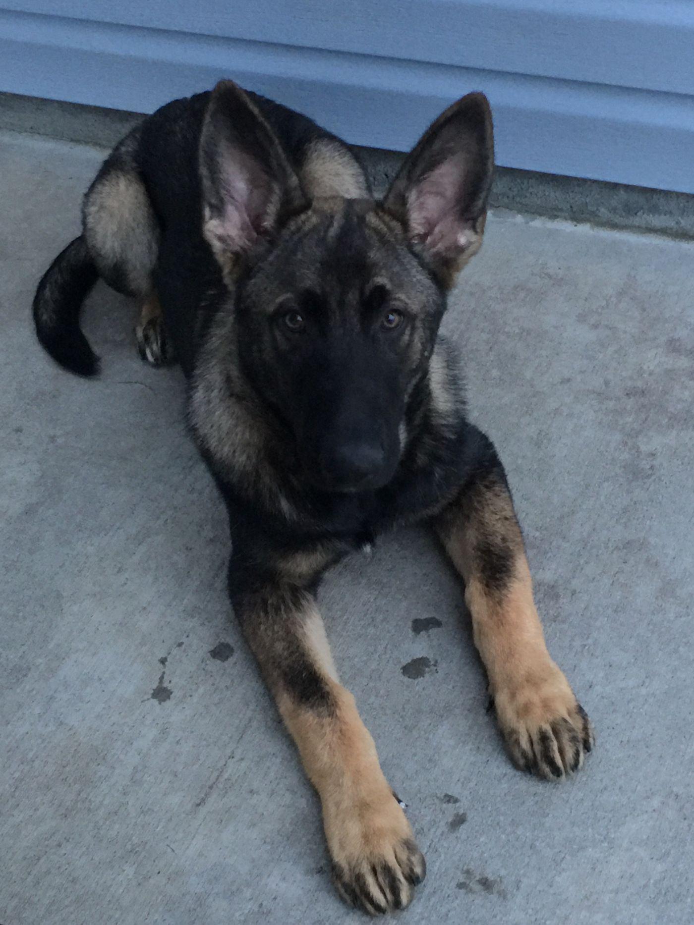 Meet Xander Our German Shepherd Puppy German Shepherd Puppies