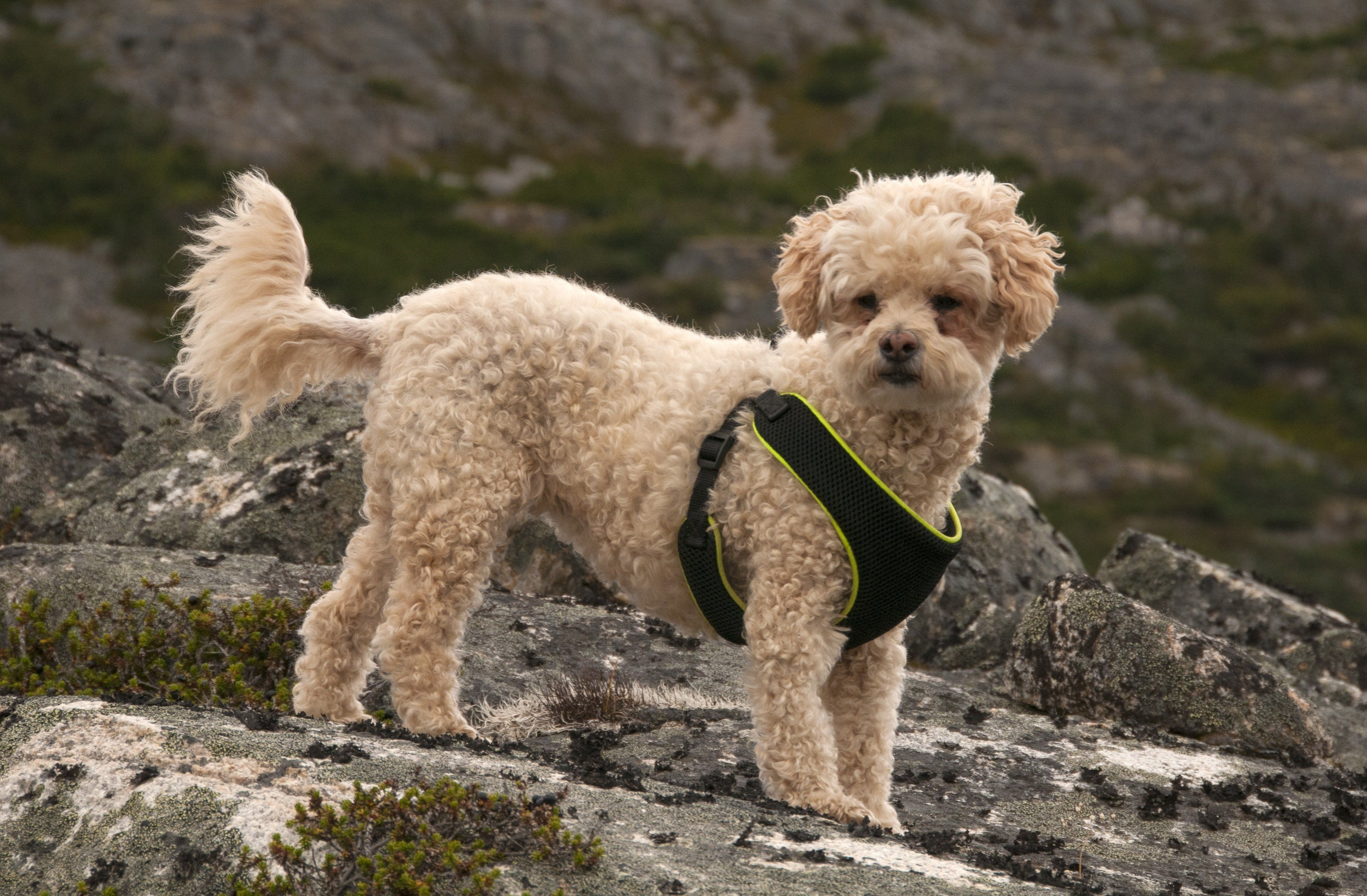 Poochon Mixed Dog Breed Pictures Characteristics Facts In 2020 Dog Breeds Pictures Dog Breeds Cockapoo Dog