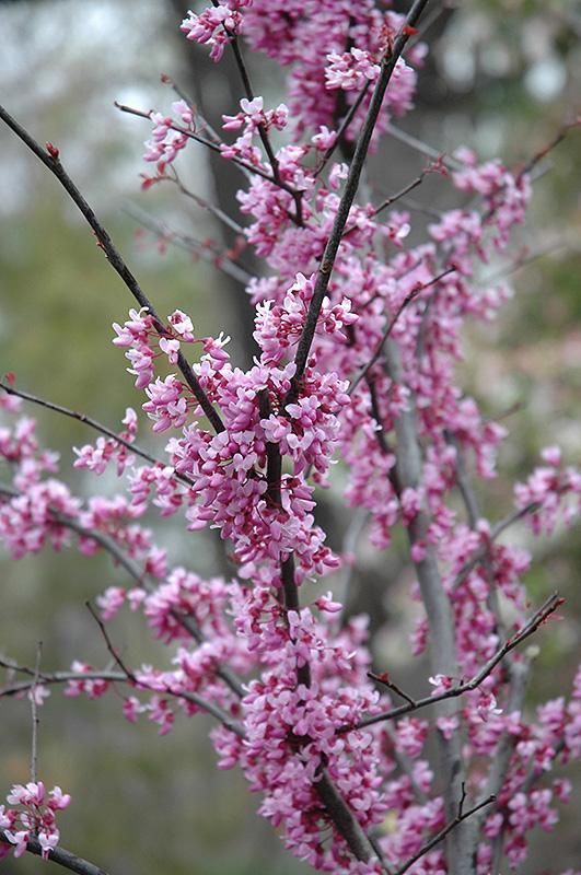 Forest Pansy Redbud Cercis Canadensis Forest Pansy