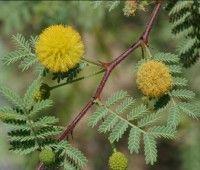 Nombre Cientifico Acacia Arabiga Wild Mimosa Nilotica L Familia Leguminosas Especies De Arboles Limpieza De Colon Plantas Medicinales