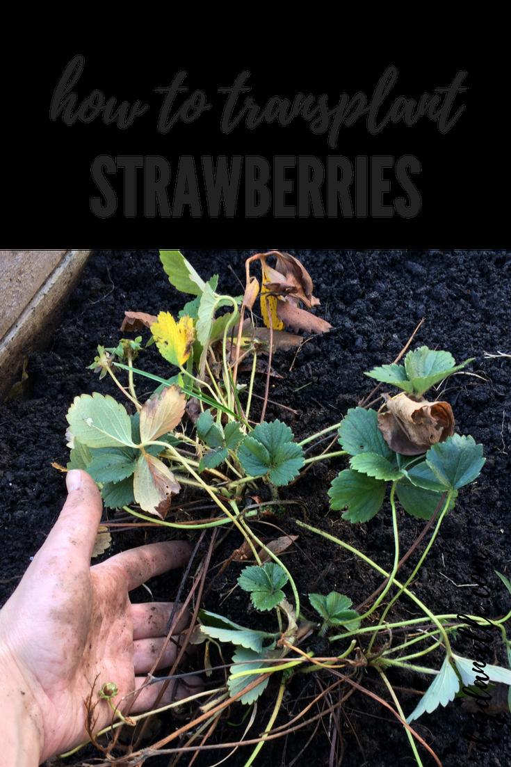 How To Transplant Strawberries Vegetable Garden