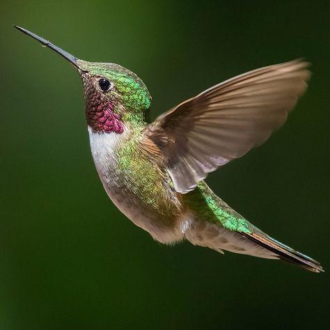 Pin von schmunzel hase auf kolibri pinterest vogel for Kleine fliegen an blumen