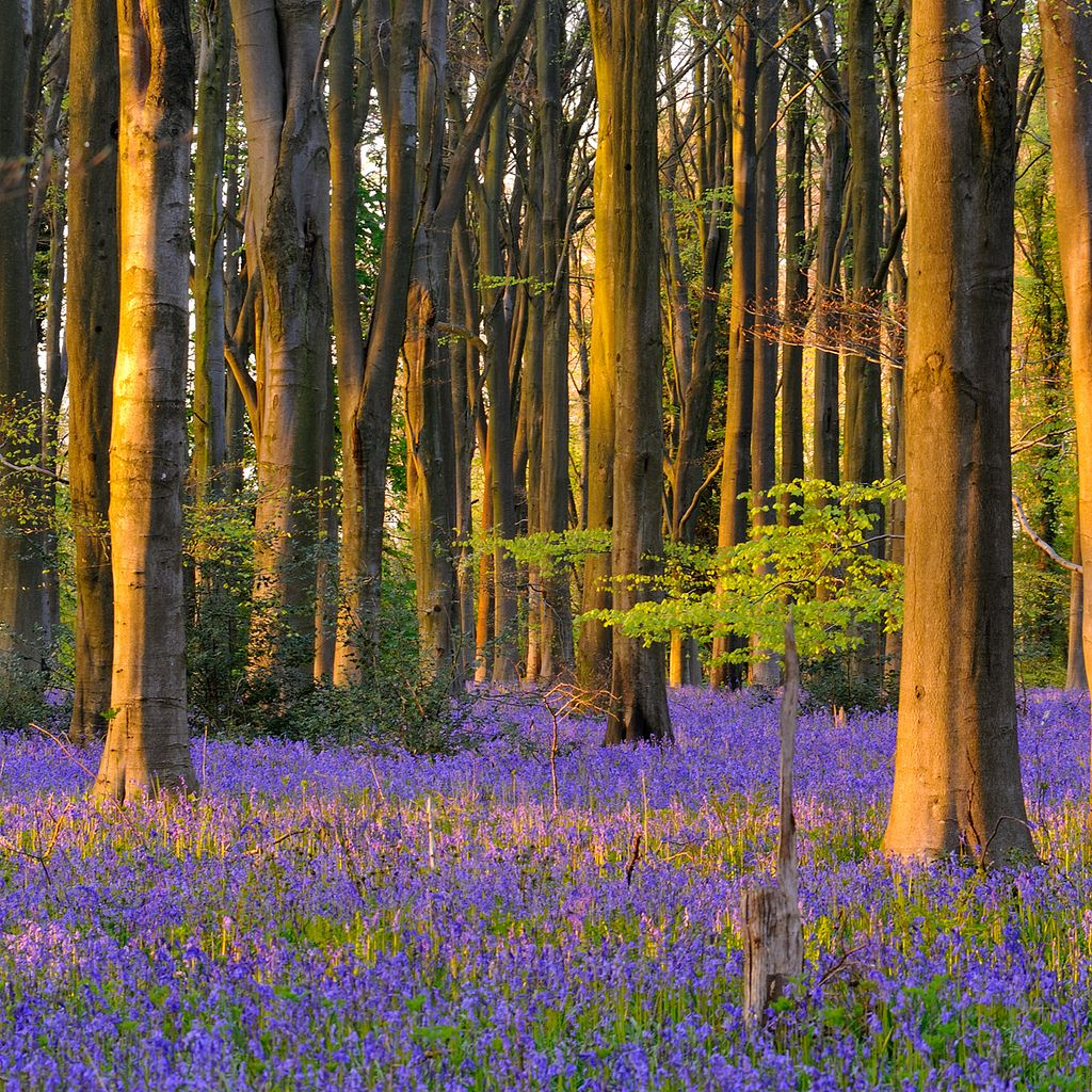 llbwwb:  Micheldever Bluebells (by Marcus Reeves)