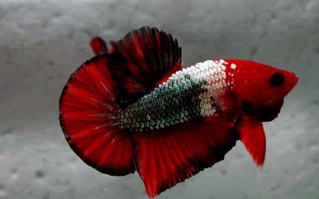 Red Dragon Marble Betta
