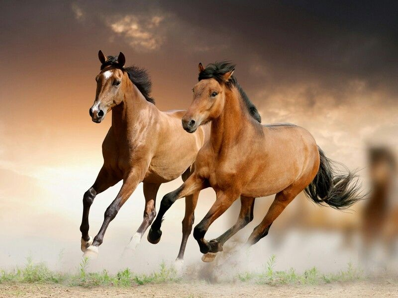 Running Horses Horse Wallpaper Beautiful Horses Horses