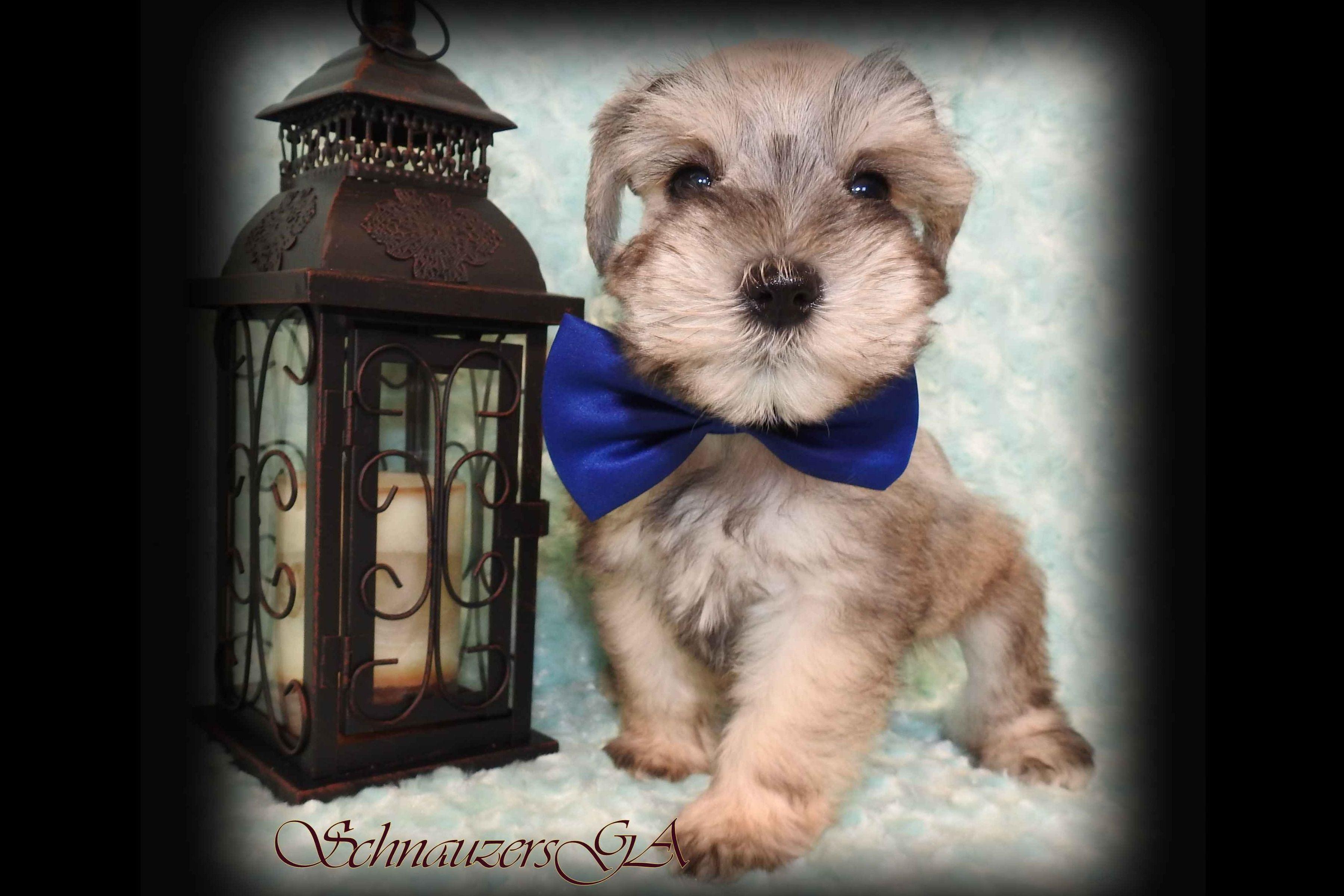 Miniature Schnauzersga Has Miniature Schnauzer Puppies For Sale In Mount Airy Ga On Akc Puppyfinder Schnauzer Puppy Puppies For Sale
