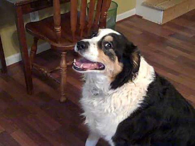 Bernese Mountain Dog Mixed With Border Collie Dog Mixes Bernese