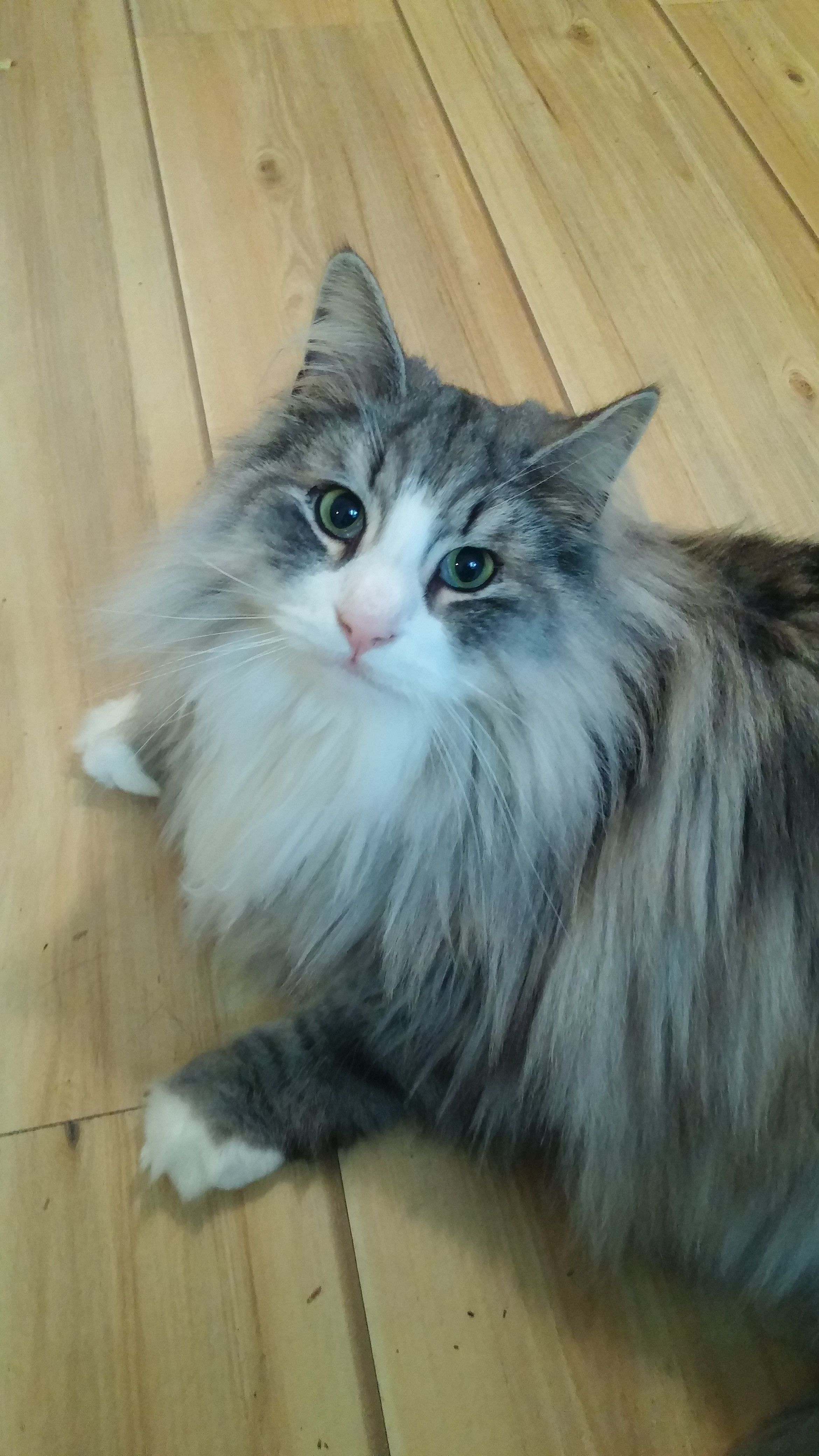 Odin, blotched silver tabby with white Norwegian Forest Cat