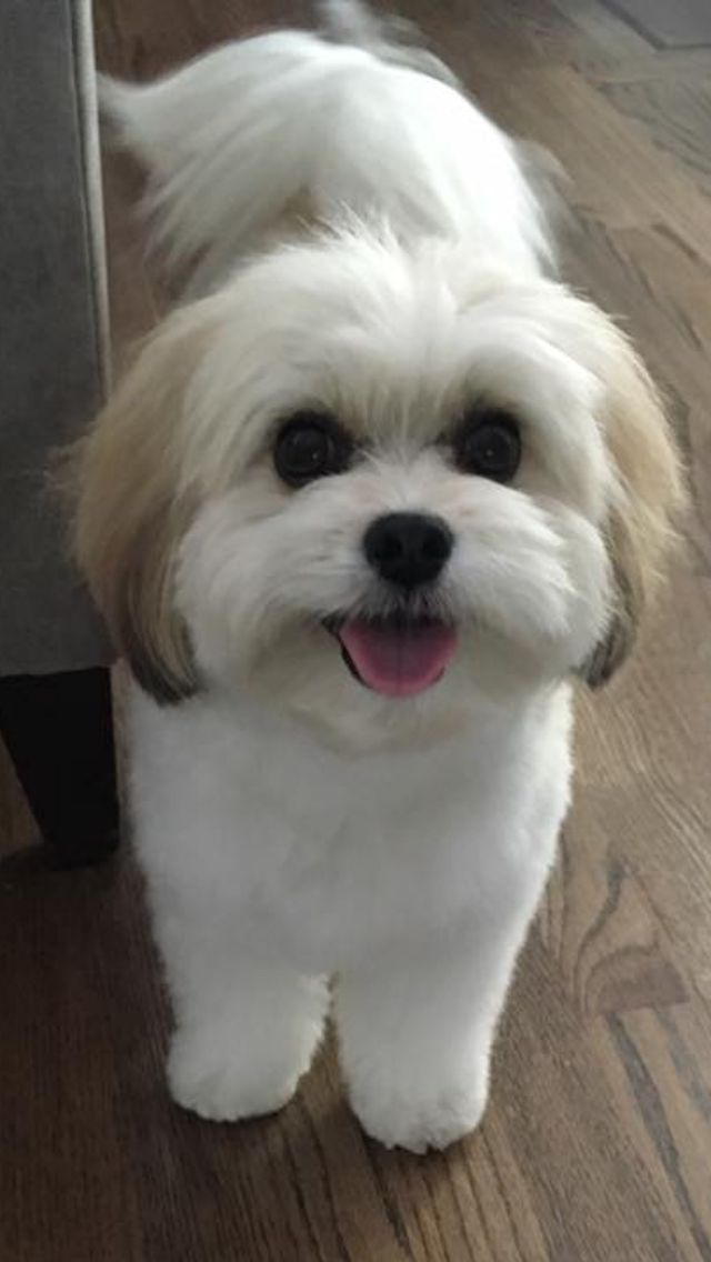 Five Dog Grooming Tips And Tricks Dog Grooming Tips Havanese