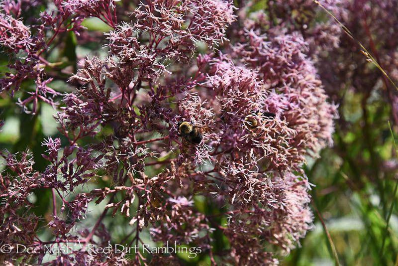 Common eastern carpenter bee, Xylocopa virginica, on Joe Pye weed, 'Little Joe'