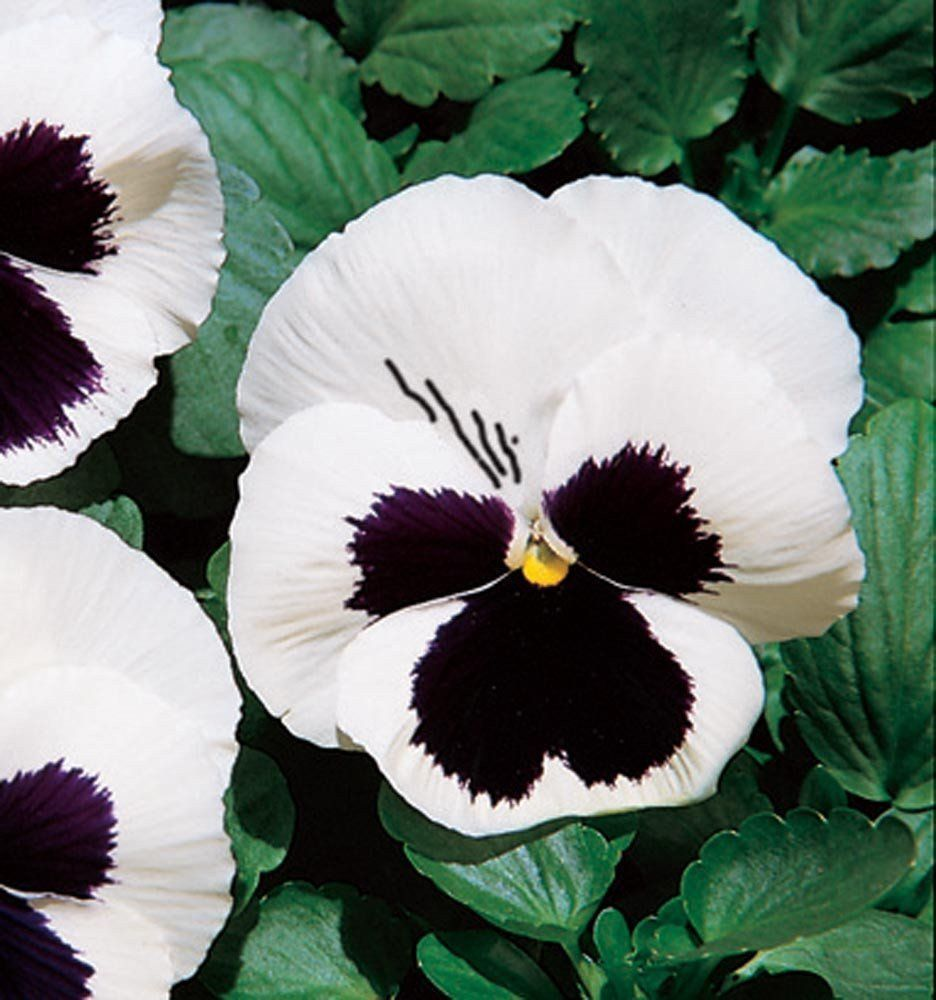 Buy Flower Seeds Online 500 Pansy Seeds Character White W Face Flower Seeds Online Black And White Flowers Flower Seeds