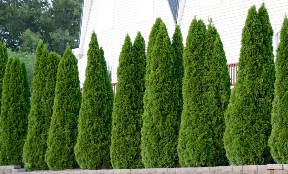 The Best Fertilizer For Arborvitae Trees With Great Results Emerald Green Arborvitae Thuja Green Giant Green Giant Arborvitae