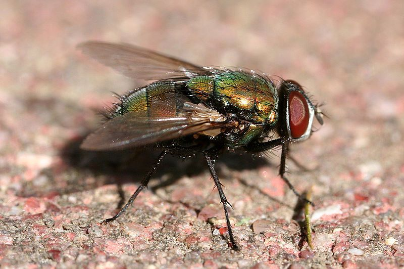 b3f57d7b1eb9446d2b503729ea930222 - How To Get Rid Of Common Green Bottle Fly