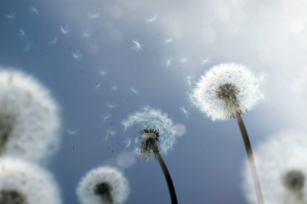 Da Li Postoji Najbolji Lek Protiv Alergija Dandelion Spring Allergies Dandelion Seed
