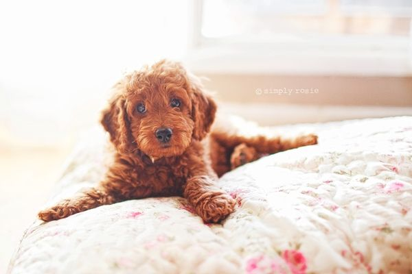 Our Micro Mini Goldendoodle Mini Goldendoodle Puppies Cute Dogs Cutest Dog Ever