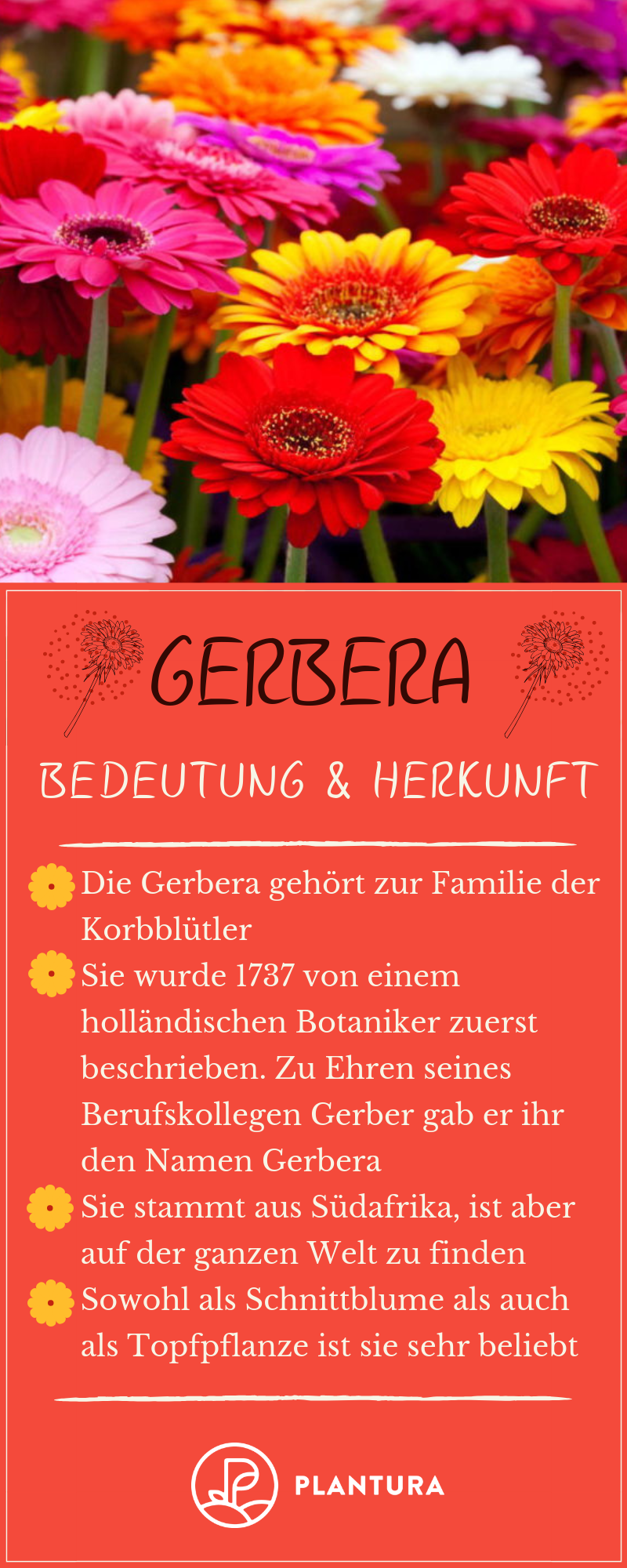 Gerbera Im Topf Im Garten Als Schnittblume Plantura Schnittblumen Gerbera Pflanzen